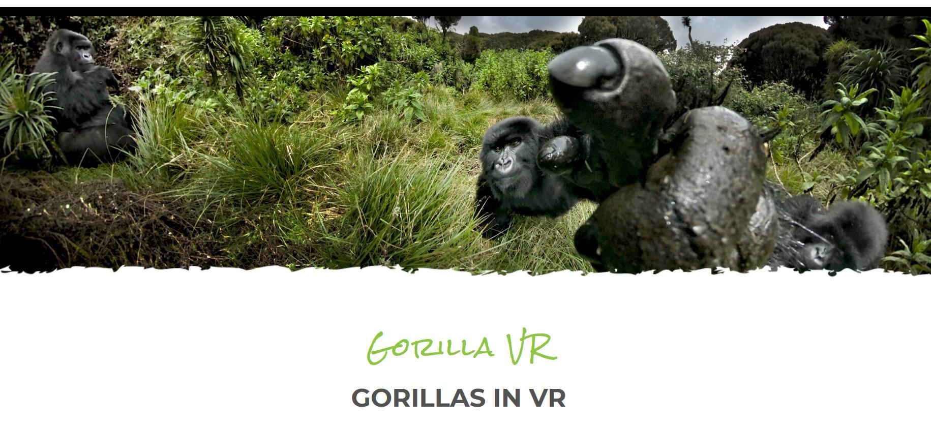 Corona macht auch in Afrika erfinderisch: Ruanda bietet Besuche bei den Gorillas in Virtual Reality an. So will die Regierung dafür sorgen, dass Umweltprojekte für Touristen attraktiv bleiben.
